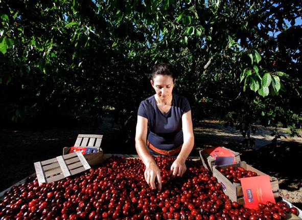 Cherry-Picota-Sector-Photos-77